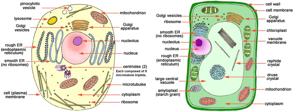 Cell Review: Day 8 ALTERNATE 1. Identify Cell 1 as a plant cell or an animal cell.