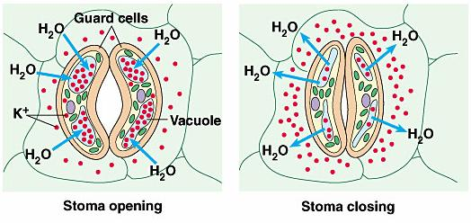 Guard Cells Regulate opening/closing of stomata Open sunlight, H 2 O Close nighttime, lack of moisture 3-dimensional conformation rules K + gradient, osmotic movement of water into guard cells open