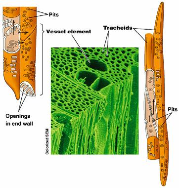 Xylem and Phloem Xylem water conducting cells made of dead tissues, also provide structural support