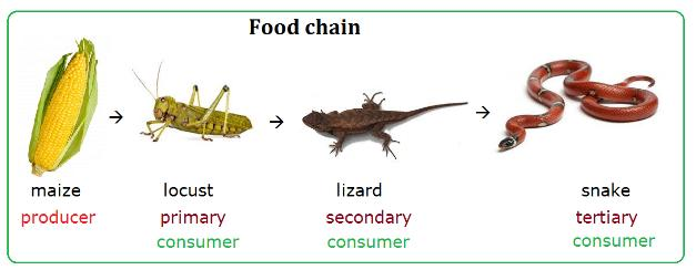 Food Chain! The movement of energy through an ecosystem can be shown in food chains and food webs 1. Food Chain- a series of events in which on organism eats another and obtains energy.