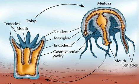 Figure 3: Cnidarians may alternate between a polyp (sessile) and medusa (free-swimming) life cycle stage. The two are essentially upside down versions of each other.