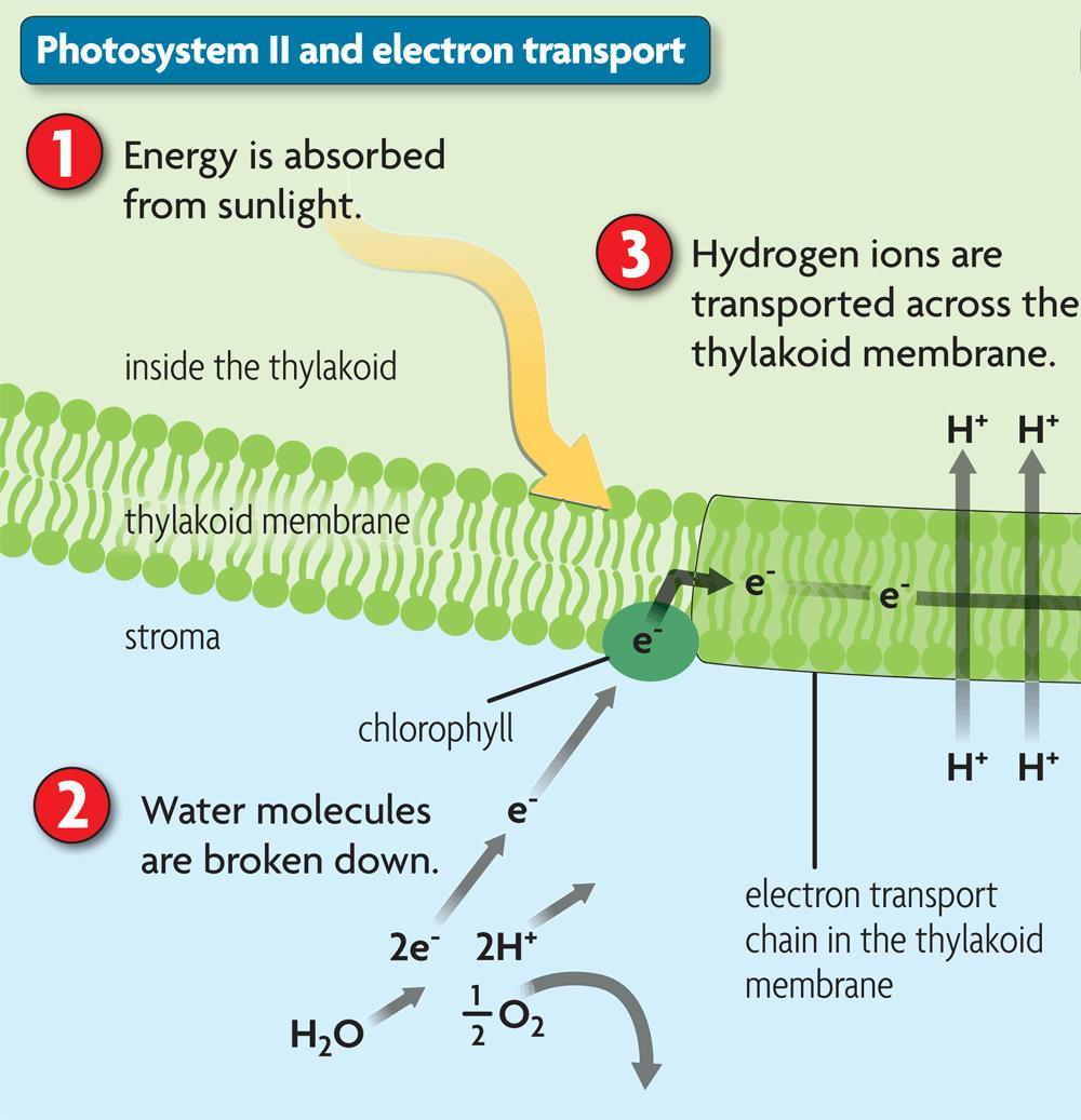 Photosystem II captures and transfers energy.