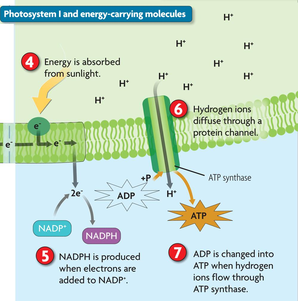 Photosystem I captures energy and produces energycarrying molecules.