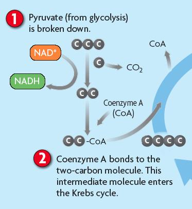 ! The Krebs cycle is the first main part of cellular respiration.