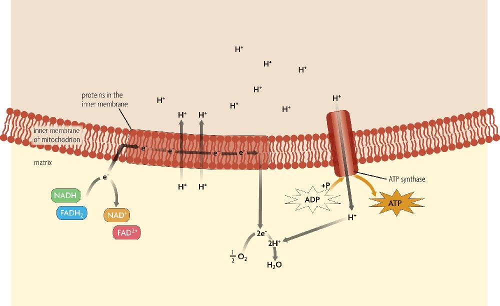 ! The electron transport chain is the second main part of cellular respiration. The electron transport chain uses NADH and FADH 2 to make ATP.