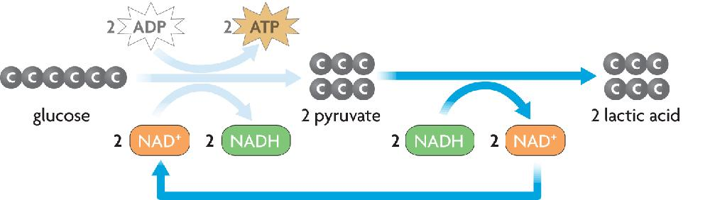 The pyruvic acid formed during glycolysis is broken down to lactic acid and energy