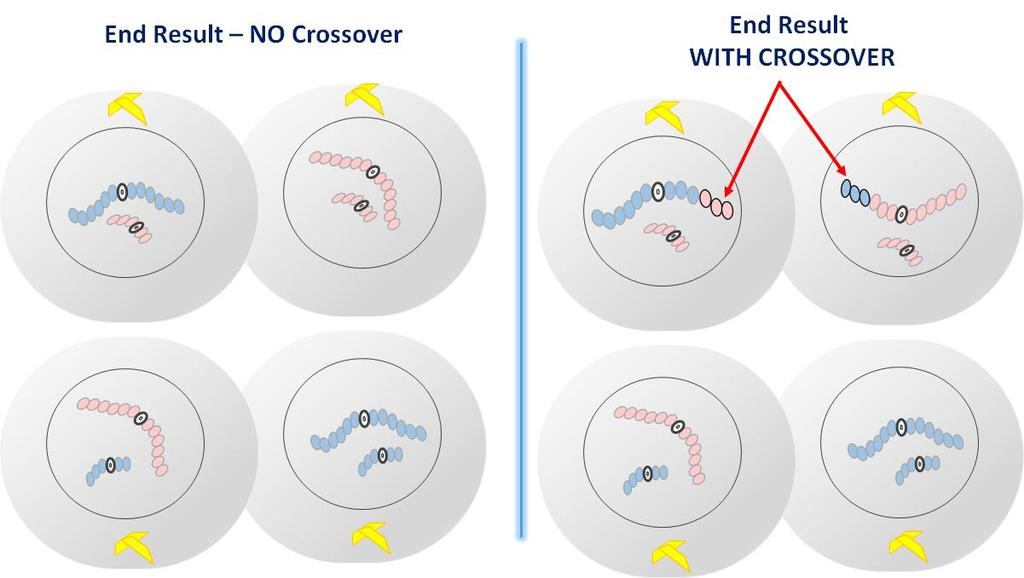Describe the chromosomes in gametes WITH Crossover. COMPARISON OF END RESULT WITH AND WITHOUT CROSSOVER No Crossover CROSSOVER Describe the chromosomes in gametes WITHOUT Crossover.