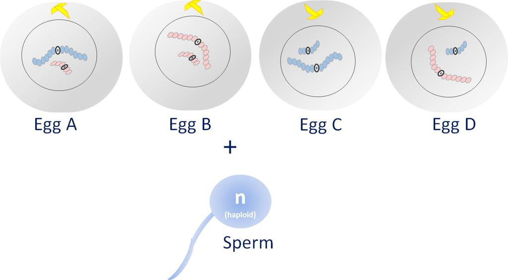 10. Review the figure below. Assume these are 4 female gametes produced from one parent cell undergoing meiosis, resulting in 4 egg cells.