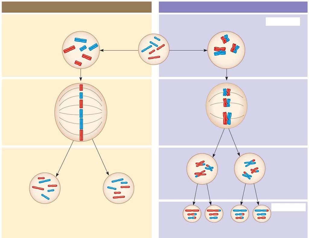 h. What are homologs (homologous chromosomes)? i. What occurs in synapsis? j. What is crossing over? 26. Use Figure 13.9 to compare of mitosis and meiosis.