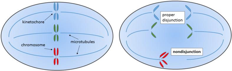 CONCEPT: MEIOSIS Nondisjunction when sister chromatids, or homologs fail to separate during cell division Aneuploidy the wrong number of chromosomes, can be as a result of nondisjunction Genetic