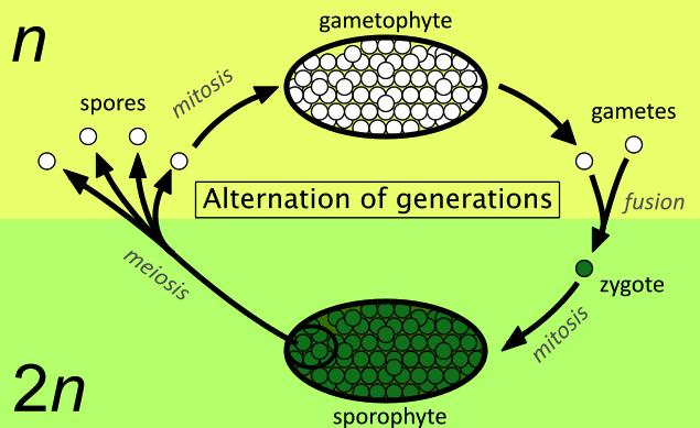 CONCEPT: SEXUAL REPRODUCTION Alteration of generations - unlike animals, plant life cycles
