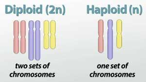 Sperm and Egg = Gametes HUMAN SPERM and EGG cells have only 23 chromosomes each Another name