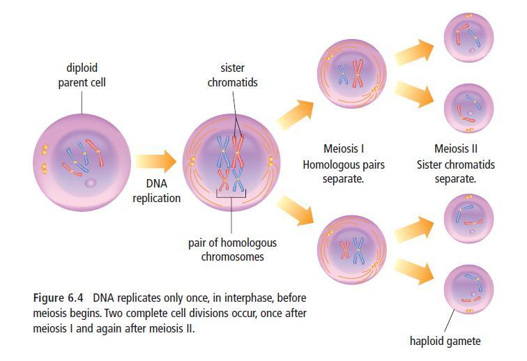 We will practice MEIOSIS using an organism with 4