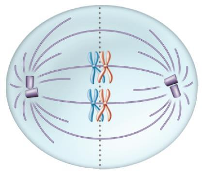 I Metaphase I Chromosome centromeres attach to spindle