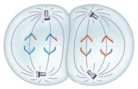 II Anaphase II Sister chromatids are pulled apart at the
