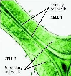 Cell Structure Cell Walls provide extra support