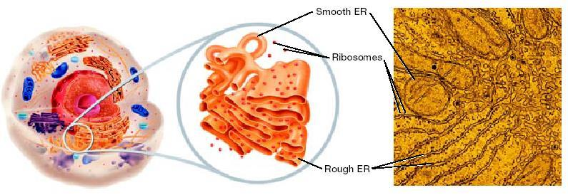 The Endoplasmic