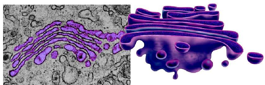 Golgi Apparatus (Transporter) Golgi Locks works at UPS Vesicles (small transport sacs) carry proteins from Ro