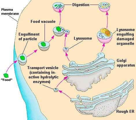 Lysosomes (Suicidal Garbageman) Lysol cleans and breaks down parts Small organelles filled with digestive enzymes They can break down needed materials, used