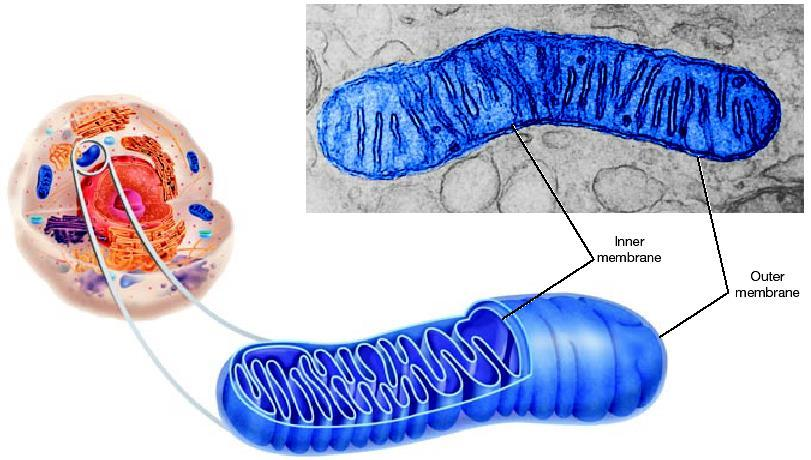 Mitochondria=endosymbiosis cell organelle that releases energy from stored food molecules.