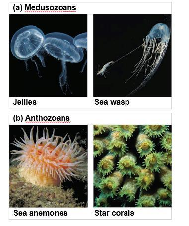 Phylum Cnidaria diverged into two major clades, Medusozoa and Anthozoa, early in its