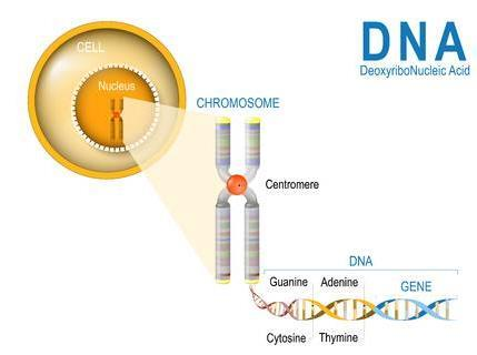 Name: Date: Period: DNA (Deoxyribonucleic Acid) is the chemical inside the nucleus of cells that contains hereditary information. DNA is shaped like a double helix/twisted ladder.