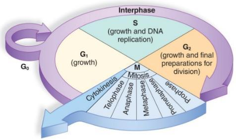 The Cell Cycle is the life cycle of the cell. Interphase is the longest phase of the cell cycle.