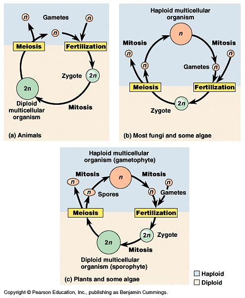The timing of meiosis and fertilization varies a great deal among species. a) The life cycle of humans and other animals is typical of one major type.