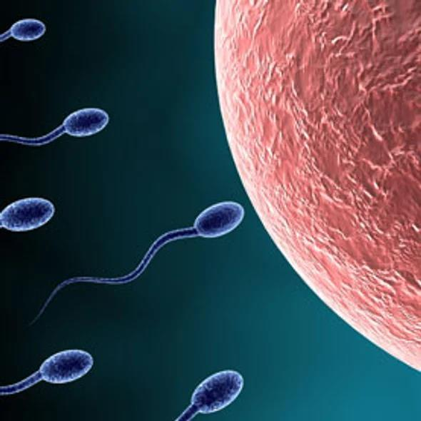 Gametes to Zygotes The haploid cells produced by meiosis II are gametes. In male animals, these gametes are called sperm.