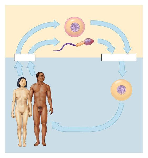 Sexual life cycles Involve the alternation of haploid and diploid stages Meiosis Haploid gametes (n = 23) n Egg cell n