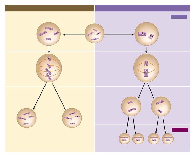 9.15 Review: A comparison of mitosis and meiosis Mitosis Meiosis Parent cell (before chromosome replication) Meiosis i Prophase Duplicated chromosome (two sister chromatids) Chromosome replication 2n