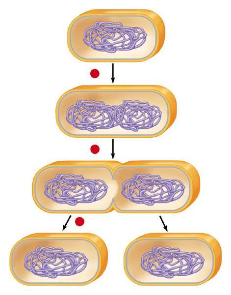 As the cell replicates its single chromosome, the copies move apart And the growing membrane then divides the cells Prokaryotic chromosome 1 2 Plasma membrane