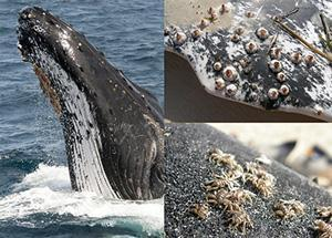 Commensalism Barnacles often attach themselves to a whale s skin. They perform no known service to the whale, nor do they harm it.