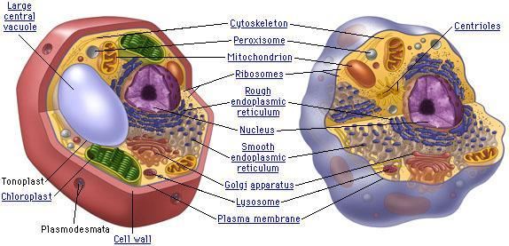 6. Label the plant and animal cells below with the
