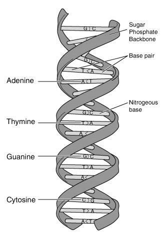 4. What is the unique shape of DNA called? 5. What are the four bases of DNA and how do they pair up? 6. What is DNA replication? 7. What is the job of RNA? 8.