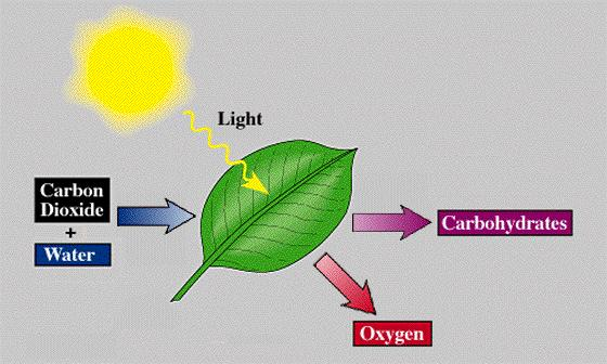 Name: Date: Chapter 8 Notes Photosynthesis Section 8-2 & 8-3 Photosynthesis: An Overview (p. 204-214) The study of energy capture and use begins with.