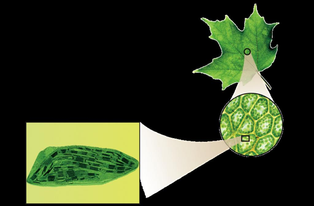 Inside a Chloroplast In plants, photosynthesis takes