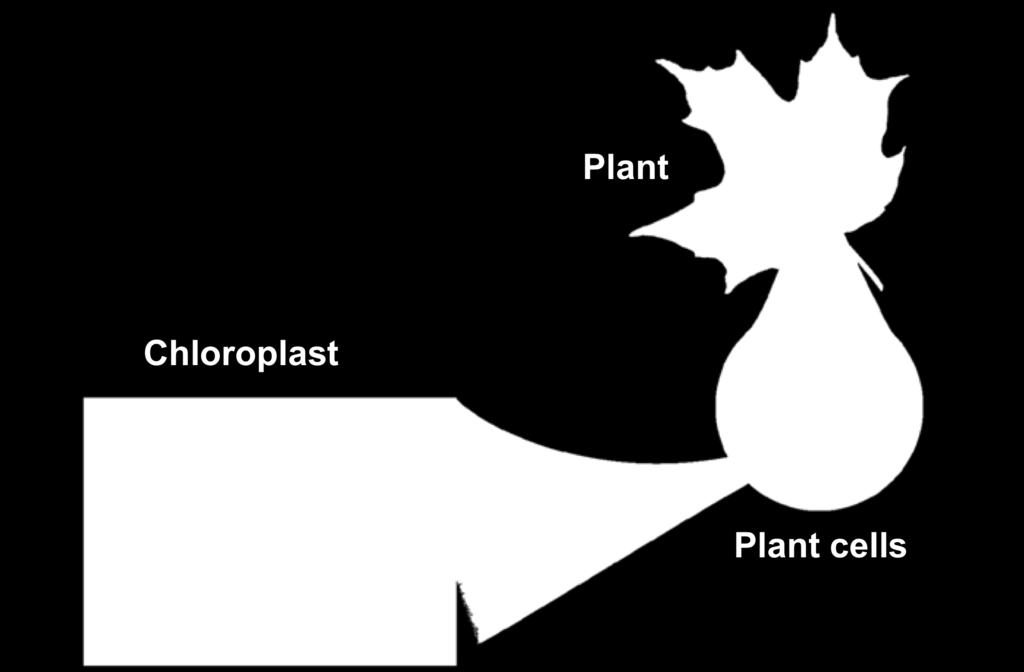 Chloroplasts contain saclike photosynthetic membranes.