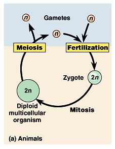 The timing of meiosis and fertilization does vary among species. The life cycle of humans and other animals is typical of one major type.