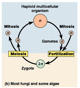 Most fungi and some protists have a second type of life cycle. The zygote is the only diploid phase.