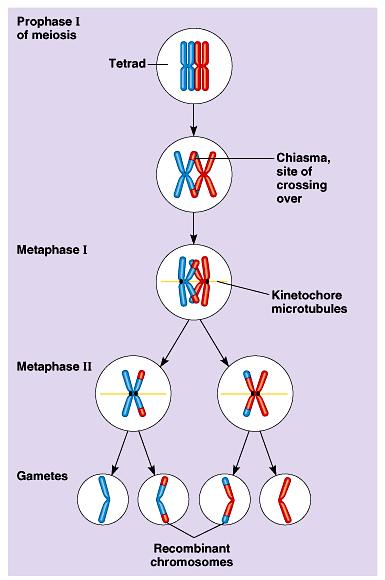 Independent assortment alone would find each individual chromosome in a gamete that would be exclusively maternal or paternal