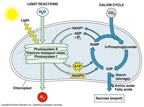 Photosynthesis is divided into 2 sequential processes: 1.