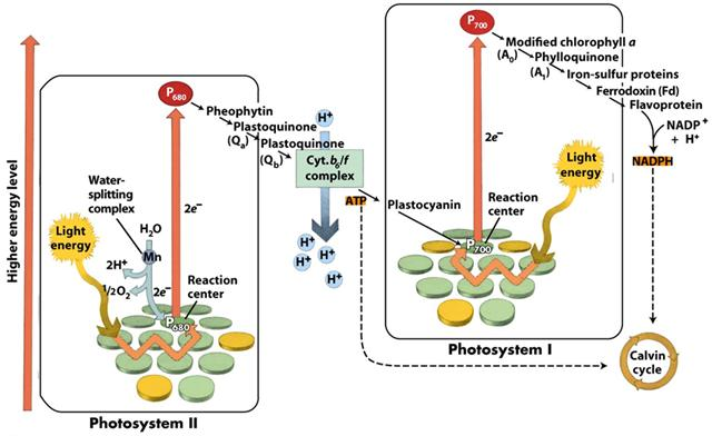 PHOTOSYSTEMS There are 2 types of photosystems found in the thylakoid membranes: Photosystem I (PSI): chlorophyll a (a molecule in the reaction centre) is called P700 because its best