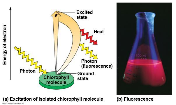 3) Excitation of Chlorophyll by Light: When a pigment absorbs light, it goes from a ground state to an excited state, which is