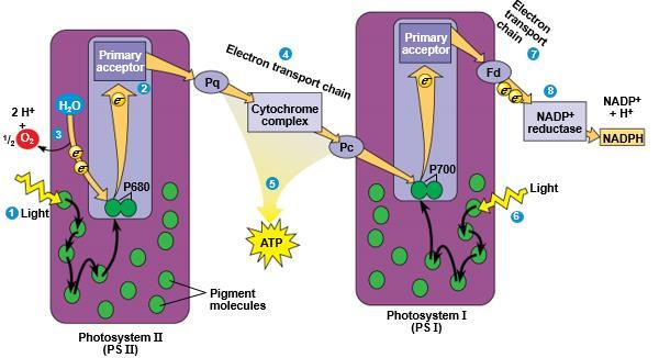 via the electron transport chain. I.