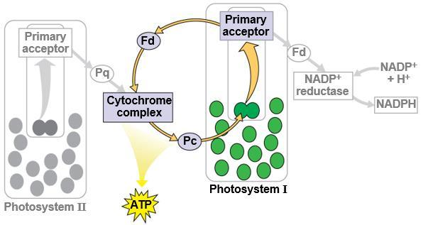 16 لجان الد فعات/تلخيص علوم حياتية 101 6) Cyclic Electron Flow: a. Cyclic electron flow uses only photosystem I and produces ATP, but not NADPH. b. No oxygen is released. c.