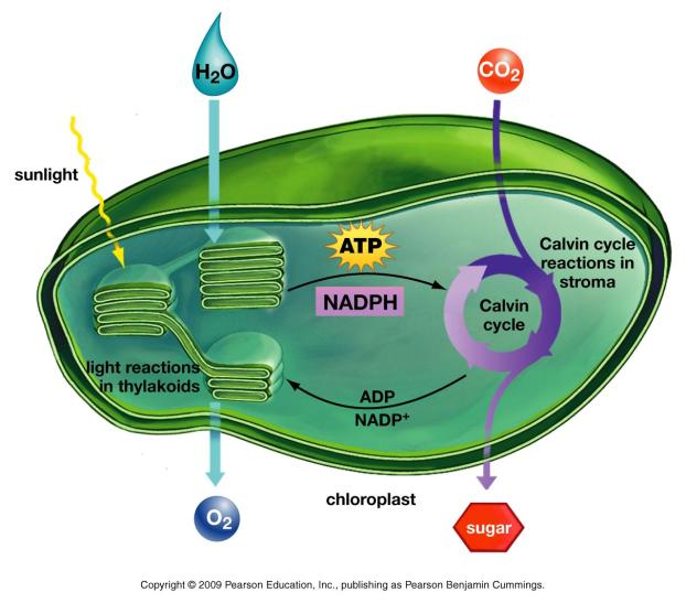 The Calvin Cycle All these steps are powered by ATP produced in the light reactions G3P Everything in the plant