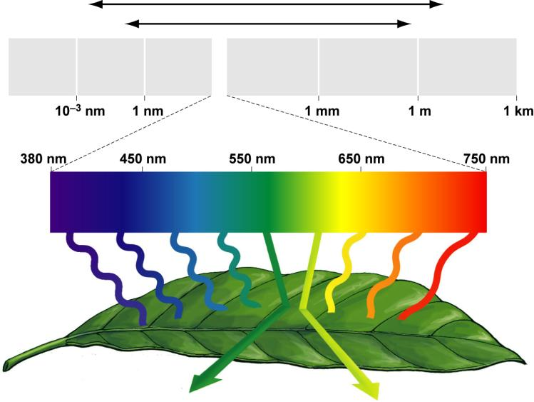 energy comes mostly from blue and red wavelengths of visible sunlight Absorbed by pigments in the thylakoids By chlorophyll a And accessory pigments Why plants