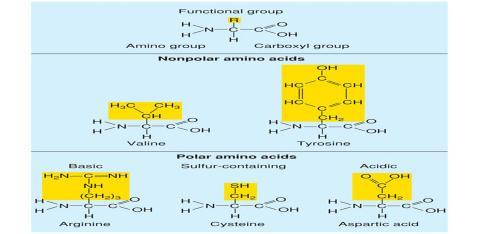 Acids Are made of long chains of amino acids 20 different amino acids can be used Amino acids contain an