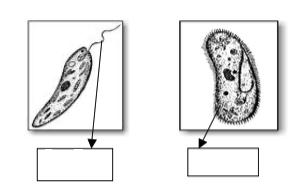 15. Protists have specialized structures for movement (locomotion).